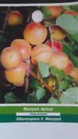 MOORPARK APRICOT 4-6 FT TREE Healthy Fruit Trees Plant Sweet Juicy Apricots