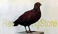 Coturnix coturnix, Forma Synoecus Lodoisiae © 1911 Vintage Reprint
