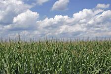 Canadian Field Corn - Silage - Livestock Feed - NON GMO - 5 lb. Organic Seeds
