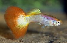 x15 MALES TEQUILA SUNRISE GUPPY PACKAGE - FISH LIVE FREE SHIPPING