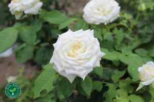 10 seeds of White Rose - ROSA + 5 seeds of Sunflower