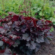Geyhera purple Heuchera Seeds Perennial Garden Ornamental plant Beautiful Leaves