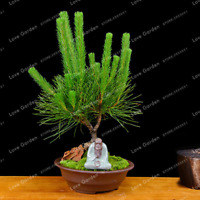 Pinus Thunbergii Bonsai Pine Tree Potted Landscape Garden 50 Pcs Seeds Plants N