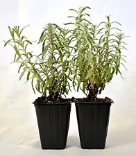 Hidcote Blue Lavender 2 Pack Aromatic Plant Garden and Home New