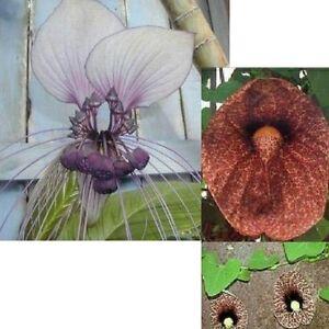 zwei tolle HORROR-PFLANZEN: die FLEDERMAUS-Blume und die GESPENSTER-Blume