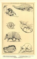 Vintage Ant-Eater & Armadillo Print Ca.1900 - Illustrated Book plate For Framing