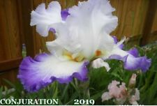 "1 ""Conjuration"" Beautiful White Space Age Tall Bearded Iris Rhizome"