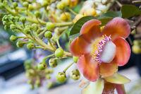 Exot Pflanzen Samen exotische Saatgut Zimmerpflanze BENGALISCHE-QUITTE