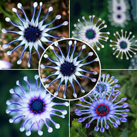 50x Blaues Samen Gänseblümchen Seeds~~~~