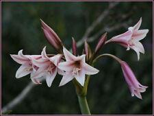 Crinum bulbispermum - beautiful bulbous perennial