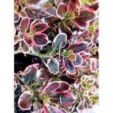 COPROSMA  PACIFIC DAWN  .RARE .MIRROR PLANT.SHRUB.9CMS POT