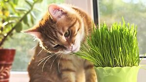 4 OZ. ORGANIC RYE GRASS SEED CAT GREENS FOOD A PURFECT TREAT !!