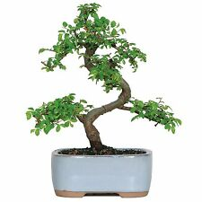 Chinese Elm Bonsai Tree and Pot, FREE SHIPPING, NEW
