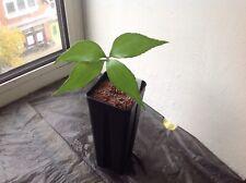 Plant: 1x Zamia standleyi- Rare Cycas Cycad Palm -no Seeds