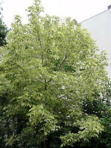100 Samen Eschenahorn Acer negundo, Baum Samen