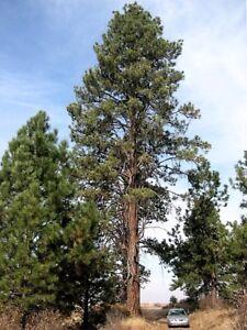 Ponderosa Pine (Pinus ponderosa), 15 seeds