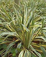 der mehrjährige immergrüne BUNTER-FLACHS ist eine schöne, winterharte Pflanze.