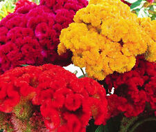 COCKSCOMB MIXED COLORS DWARF Celosia Cristata Nana Jessica - 120 Bulk Seeds