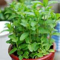 500PCS DIY Fun Fresh Spearmint Mint Mentha Herb Green Flower Seeds Home Decor