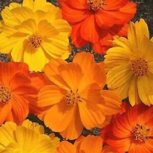 100 SEEDS Bright Mixed Cosmos Garden Lights Flower Seeds Colour Easy to Grow DIY
