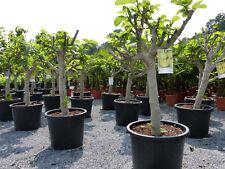 Feigenbaum 120-140 cm Obstbaum, winterhart, Ficus Carica, helle + dunkle Feige