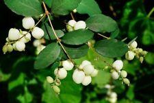 Snowberry (symphoricarpos albus) 15 seeds