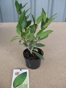 "2x1 Litre Pot Organic Bay Laurel ""Laurus Nobilis"" Aromatic Leaves  Kitchen Bay"