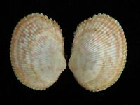 Sea shell Payridea lata 35.6mm ID#4551