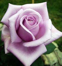 10 Light Purple Rose Seeds Flower Bush Perennial Flowers Seed Seed 4 Us Seller