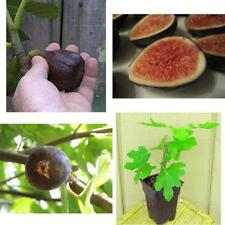 Fig Ficus Black Mission Fruit Tree Container Plant Outdoor Garden Best Gift NEW