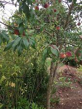 Winterharter Pfirsichbaum für den Garten : 2 Holz-Stecklinge & Wurzelpulver ....