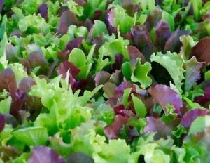 MESCLUN  MIX SEEDS 500+ lettuce KALE tatsoi Healthy GARDEN greens FREE SHIPPING