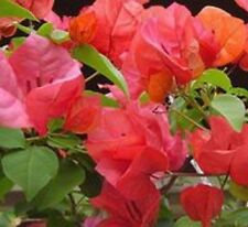 CALIFORNIAN GOLD Bougainvillea orange flowers climbing plant in 140mm pot