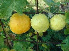 Kiwano rond blanc knackige CONCOMBRE 6 graines aussi pour balcon en seau légumes