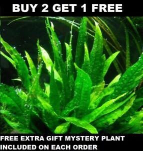 BUY 2 GET 1 FREE Java Fern Microsorum pteropus Live Aquarium Plants BEGINNER