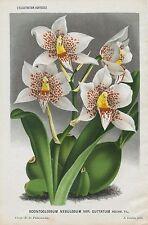 1884 June ODONTOGLOSSUM NEBULOSUM ORCHID Antique Botanical Print LINDEN