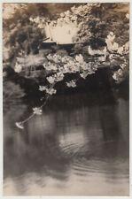 Antique Photo / Cherry Blossoms & Pond / Japanese / c. 1930s