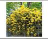 50 seeds yellow Rare Climbing Plants Seedlings Jasmine Seeds Amazing Smell