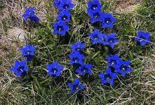 Jetzt pflanzen ! Enzian für den Balkon Garten Blumentopf blühend immergrün Deko