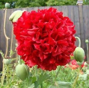 POPPY DOUBLE RED SCARLET GIANT FLOWERS PAPAVER SOMNIFERUM POPPY