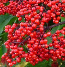 FR095 Red Elderberry x20 seeds