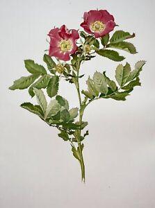 WILLMOTT, Ellen Ann (1858-1934); Parsons - ROSA PRATINCOLA Rose 37 cm