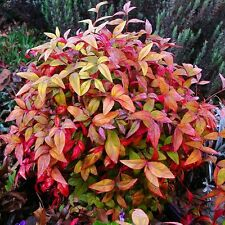 20 Graines Nandina domestica ,  Sacred Bamboo , Heavenly Bamboo seeds