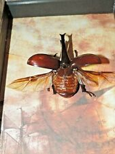 Real beetle Butterfly Framed Mounted Shadowbox Art Gift Insect taxidermy