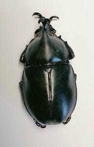 Dynastidae sp 39mm Yunnan 7988