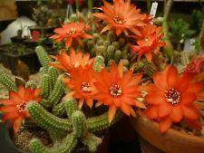 Cactus Echinopsis Chamaecereus,3 boutures facile