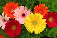100 Gerbera Jamesonni Daisy Seeds Mixed Fragrant Perennial Plant Home and Garden