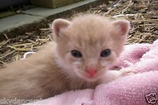SPONSOR RESCUED GINGER FERAL CAT KITTEN HELP FEED VET COLOR PHOTO Cat Rescue