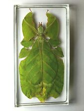 PHYLLIUM BIOCULATUM PULCHRIFOLIUM. Gray's leaf insect embedded in clear resin.
