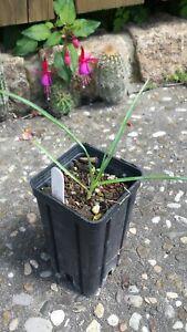 MW24-2018 Y. linearifolia (Typ Saltillo) x elata (Reinhard - Österreich)